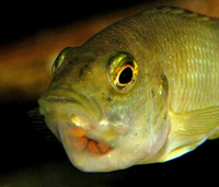 Female Cichlid with Eggs