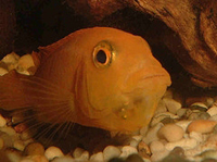 Female Cichlid with Fry