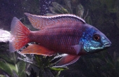 Protomelas Taeniolatus / Red Empress